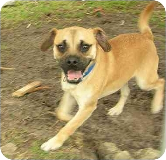 Pug/Beagle Mix Dog for adoption in Upper Marlboro, Maryland - QUIN
