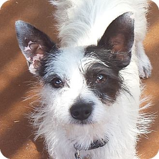 Terrier (Unknown Type, Small) Mix Dog for adoption in San Diego, California - Sid