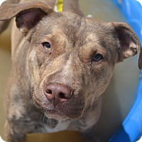 Adopt A Pet :: Bruno - Toledo, OH