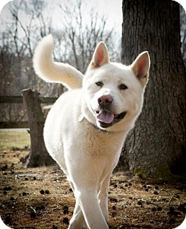 Akita Dog for adoption in Toms River, New Jersey - Cody