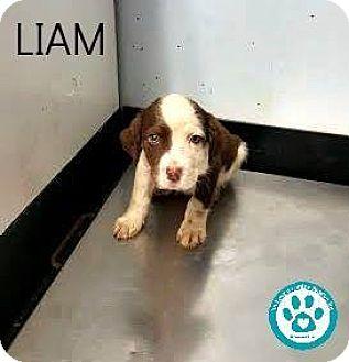 Labrador Retriever/Spaniel (Unknown Type) Mix Puppy for adoption in Kimberton, Pennsylvania - Liam