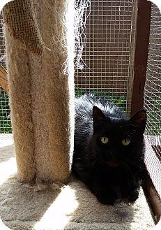 Domestic Mediumhair Cat for adoption in Port Coquitlam, British Columbia - Bella