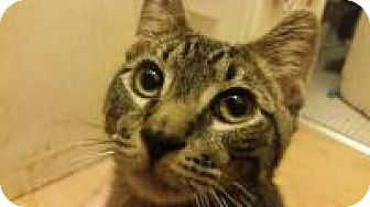 Domestic Shorthair Cat for adoption in New York, New York - Mark Benedict