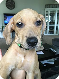 Shepherd (Unknown Type)/Labrador Retriever Mix Puppy for adoption in Detroit, Michigan - Hazelina-Adopted!