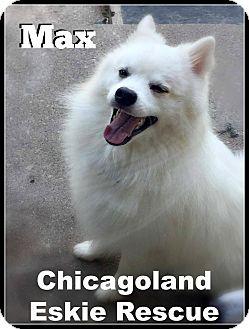 American Eskimo Dog Dog for adoption in Elmhurst, Illinois - Max