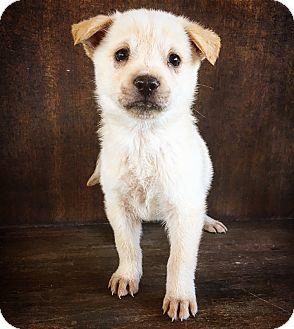 Shepherd (Unknown Type) Mix Puppy for adoption in Fredericksburg, Texas - Camry