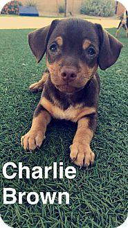 Dachshund/Chihuahua Mix Puppy for adoption in Phoenix, Arizona - Charlie Brown