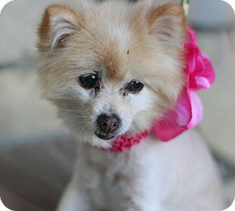 Pomeranian Dog for adoption in Canoga Park, California - Laika