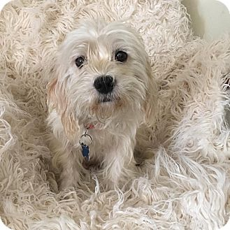 Maltese/Poodle (Miniature) Mix Dog for adoption in Redondo Beach, California - White Mocha-ADOPT Me!