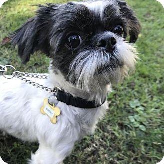 Shih Tzu Mix Dog for adoption in Los Angeles, California - BOGEY