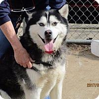 Alaskan Malamute Dog for adoption in Freeport, New York - Zeus (Sus)