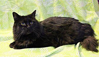 Domestic Longhair Cat for adoption in Greensboro, North Carolina - Anna