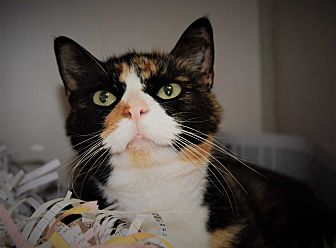 Calico Cat for adoption in Pottsville, Pennsylvania - Pepper
