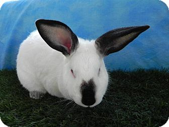 Californian for adoption in Pflugerville, Texas - Jessica