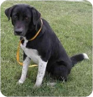 Great Pyrenees/Labrador Retriever Mix Dog for adoption in Port Lavaca, Texas - Ivy
