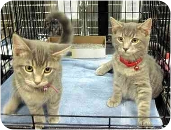 Domestic Shorthair Kitten for adoption in Overland Park, Kansas - Renna & Remus