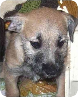 Terrier (Unknown Type, Small) Mix Puppy for adoption in Coudersport, Pennsylvania - ANGEL