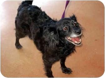 Cocker Spaniel Mix Dog for adoption in Ardsley, New York - Jenny