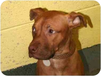 American Staffordshire Terrier Mix Puppy for adoption in New York, New York - Fancy