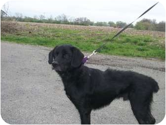 Labrador Retriever/Basset Hound Mix Dog for adoption in Paris, Illinois - Dakota