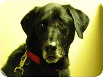 Labrador Retriever Dog for adoption in FOSTER, Rhode Island - CHASE