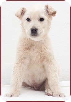 Husky Mix Puppy for adoption in Westfield, New York - Reginald