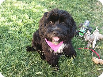 Labradoodle Mix Puppy for adoption in Stockton, California - Quinn