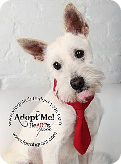 Schnauzer (Miniature) Dog for adoption in Omaha, Nebraska - Hans