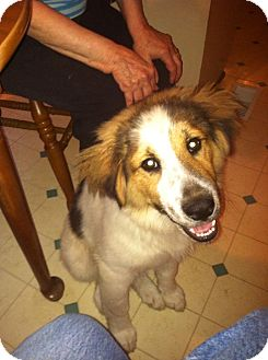 Collie/Spaniel (Unknown Type) Mix Puppy for adoption in Derry, New Hampshire - Barry
