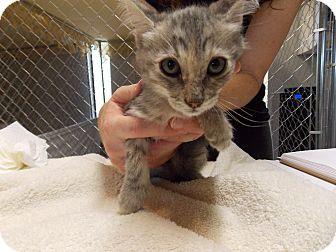 Domestic Shorthair Kitten for adoption in Fountain Hills, Arizona - JADE