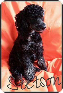 Poodle (Miniature) Dog for adoption in Orange, California - Stetson