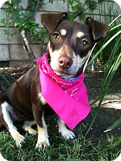 Dachshund/Chihuahua Mix Dog for adoption in Irvine, California - GINGER