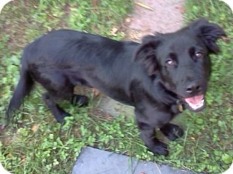 Flat-Coated Retriever Mix Dog for adoption in Richmond, Virginia - Rex
