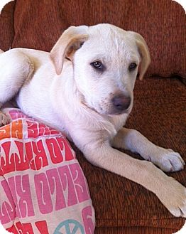 Labrador Retriever Mix Puppy for adoption in East Hartford, Connecticut - Spike in CT