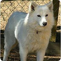 Adopt A Pet :: Foxy - Arvada, CO