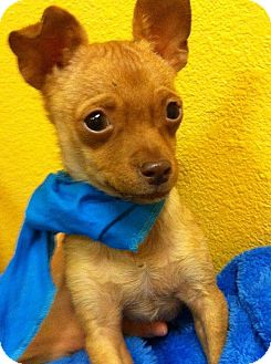 Chihuahua Puppy for adoption in Los Angeles, California - Charlie