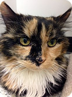 Calico Cat for adoption in Palatine, Illinois - Cassi