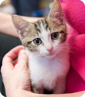 Domestic Shorthair Kitten for adoption in Huntsville, Alabama - Sheldon