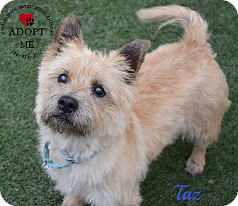 Cairn Terrier Dog for adoption in Youngwood, Pennsylvania - Taz
