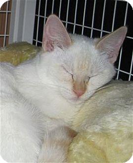 Siamese Kitten for adoption in Rocklin, California - Resolution