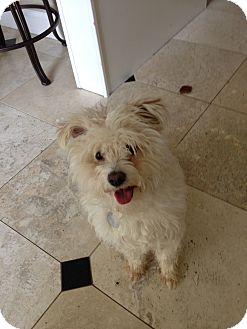 Bichon Frise/Westie, West Highland White Terrier Mix Dog for adoption in Pleasanton, California - Oscar-Adoption Pending