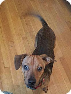 Dachshund/Chihuahua Mix Dog for adoption in Charlotte, North Carolina - Jack