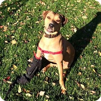 Black Mouth Cur/Mountain Cur Mix Dog for adoption in Chalfont, Pennsylvania - Lucy (Cur)