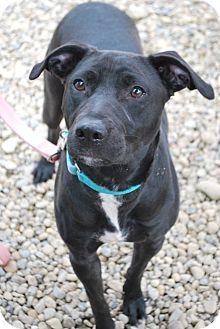 Labrador Retriever Mix Dog for adoption in Berea, Ohio - Sable