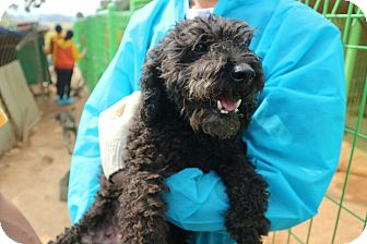 Poodle (Standard) Mix Dog for adoption in Oakton, Virginia - Poodie