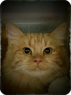 Domestic Mediumhair Kitten for adoption in Pueblo West, Colorado - Katnip