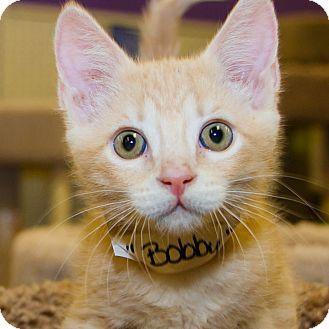Domestic Shorthair Kitten for adoption in Irvine, California - Bobby