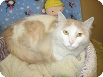 Domestic Longhair Cat for adoption in Kankakee, Illinois - Scotch