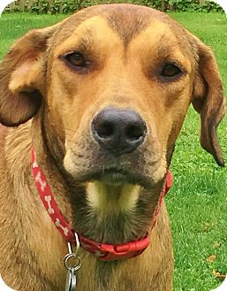 Australian Shepherd/Redbone Coonhound Mix Dog for adoption in Snohomish, Washington - Bradford-sweet, social & smart