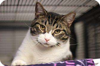 Domestic Shorthair Cat for adoption in Midland, Michigan - Elijah